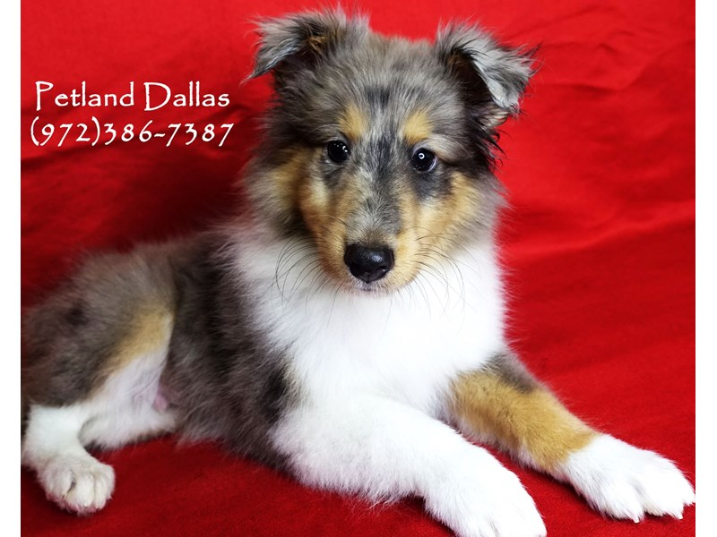 Shetland Sheepdog-Male-Blue Merle White & Tan-2891227-Petland Dallas, TX