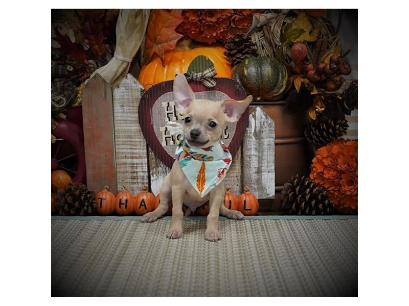 Chihuahua-Male-Cream-2896276-Petland Dallas, TX