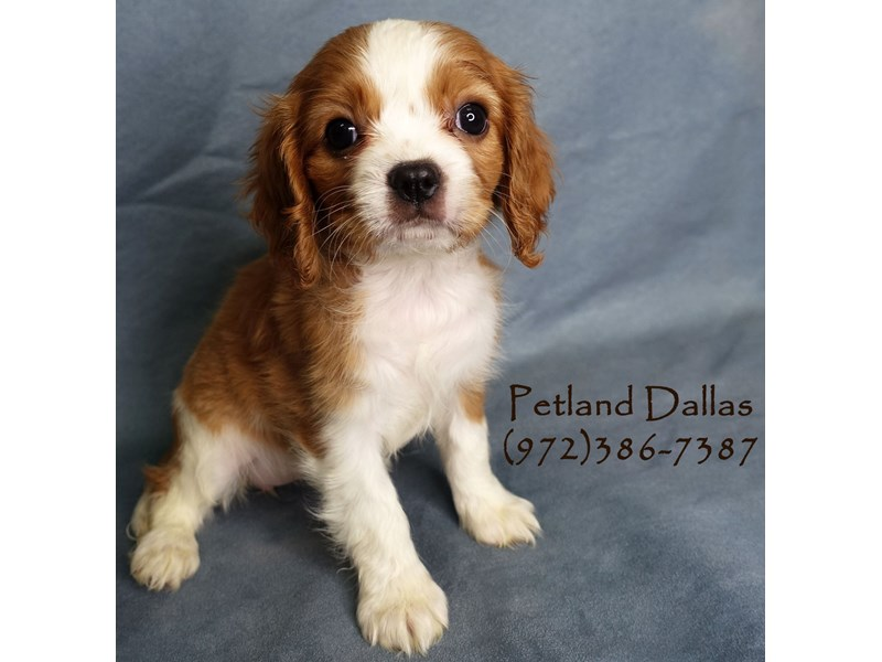 Cavalier King Charles Spaniel-Male-Blenheim-2898020-Petland Dallas, TX