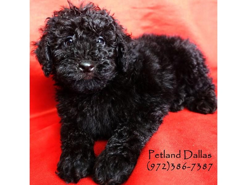 Miniature Poodle-Male-Black-2906523-Petland Dallas, TX