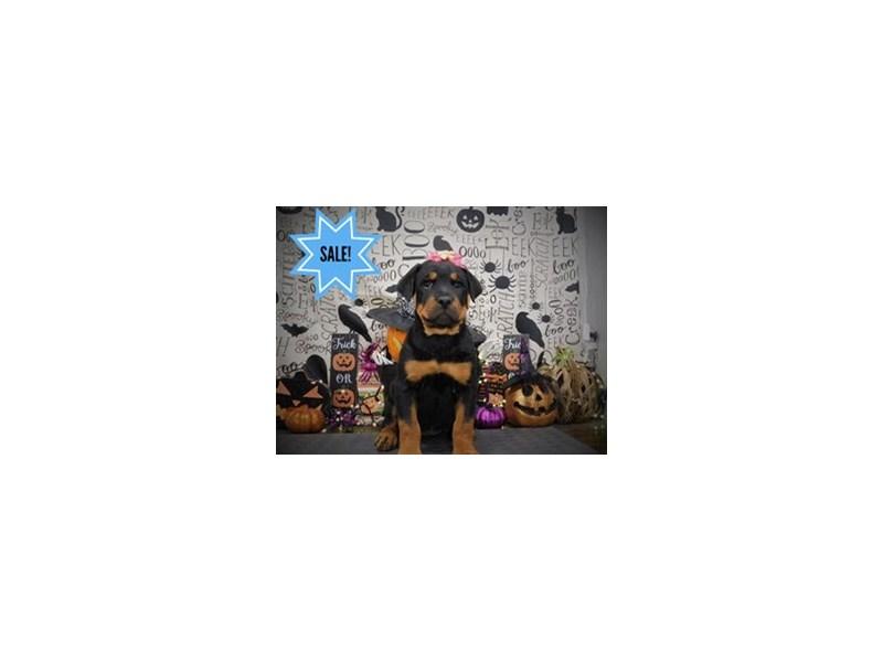 Rottweiler-Female-Black / Tan-2882941-Petland Dallas, TX