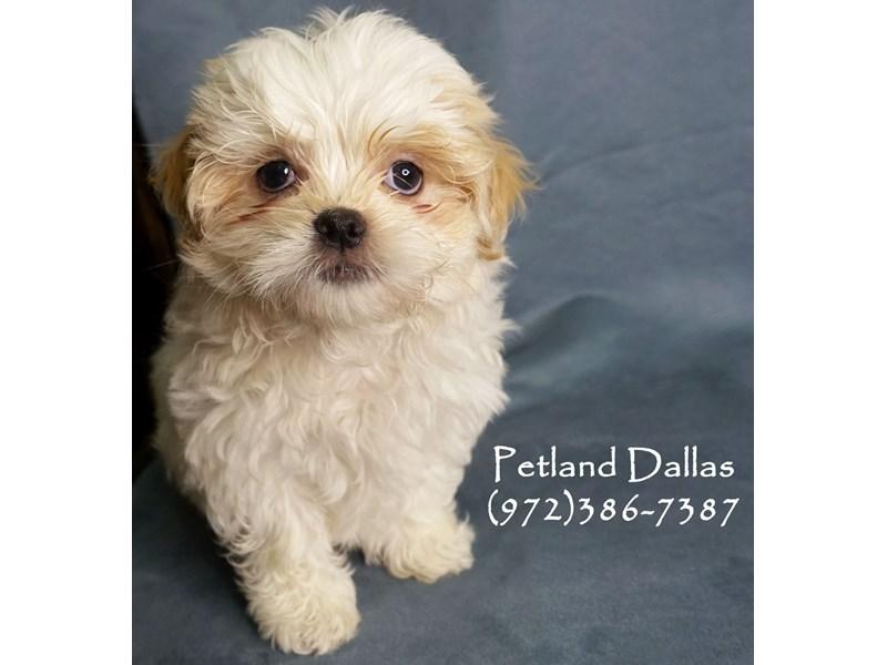 Malshi-Male-White-2912285-Petland Dallas, TX