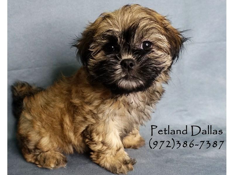 Malshi-Female-Brown-2912284-Petland Dallas, TX
