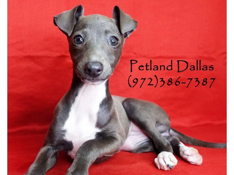 Italian Greyhound-Female-Blue & White-2911968-Petland Dallas, TX