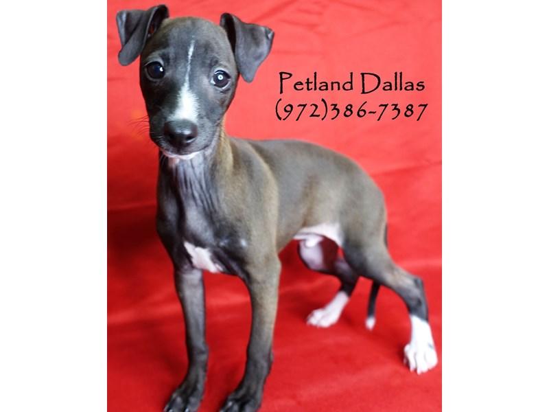 Italian Greyhound-Male-Seal & White-2911963-Petland Dallas, TX