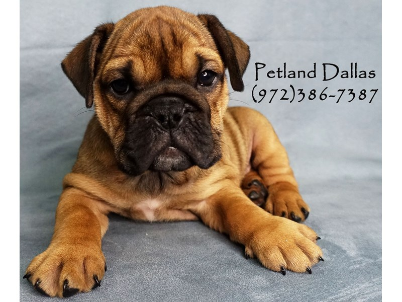 English Bulldog-Female-Red W/ Black Mask-2911667-Petland Dallas, TX