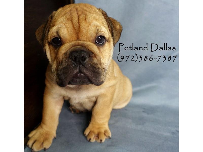 English Bulldog-Male-Red W/ Black Mask-2911666-Petland Dallas, TX