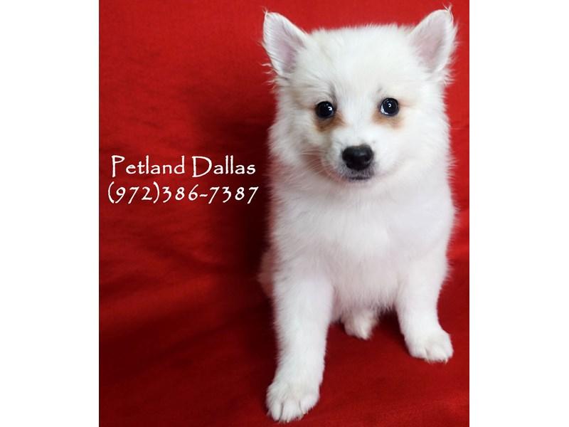 American Eskimo-Female-White-2919306-Petland Dallas, TX