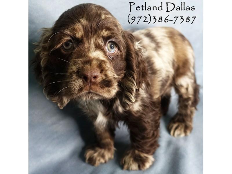 Cocker Spaniel-Male-Chocolate Merle-2919059-Petland Dallas, TX