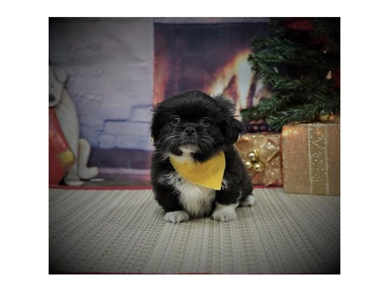 Pekingese-DOG-Male-Black-2925228-Petland Dallas, TX