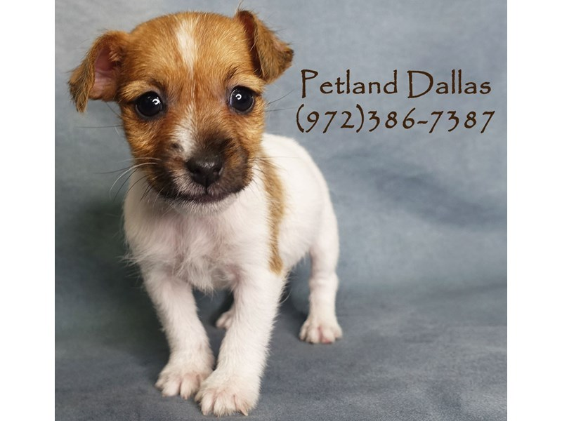 Jack Russell Terrier-Male-Red and White-2927254-Petland Dallas, TX