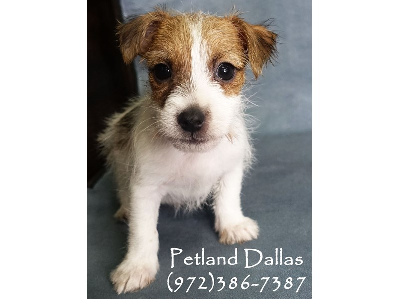 Jack Russell Terrier-Male-Red and White-2927252-Petland Dallas, TX