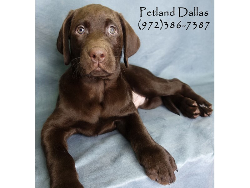 Labrador Retriever-Male-Chocolate-2926883-Petland Dallas, TX