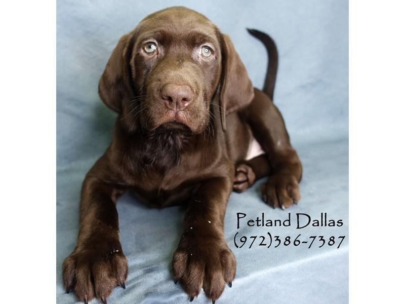 Labrador Retriever-Female-Chocolate-2926880-Petland Dallas, TX