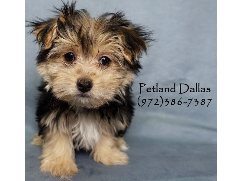 Morkie-Female-Black and Tan-2926796-Petland Dallas, TX