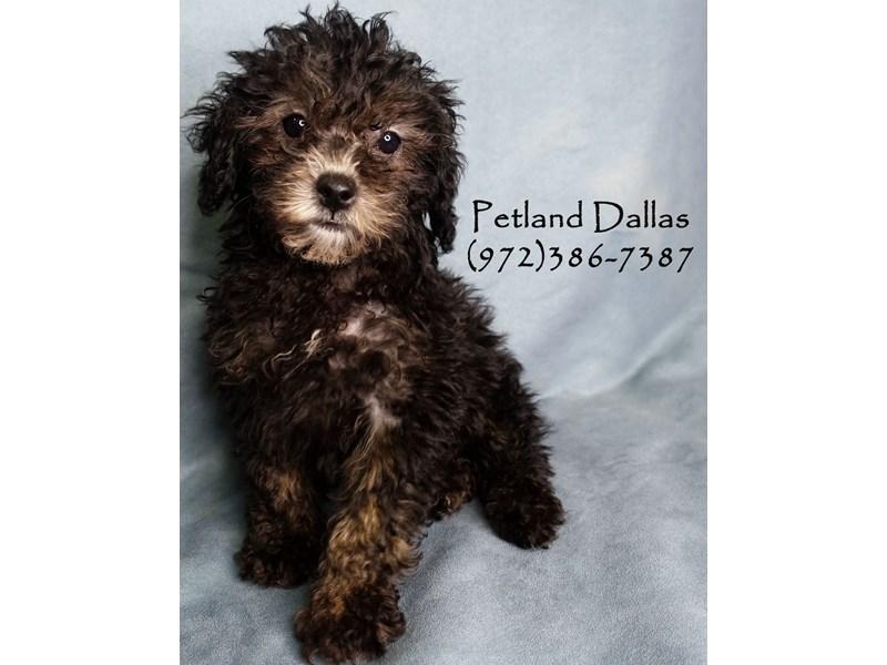 Miniature Poodle-Female-Black and Tan-2927863-Petland Dallas, TX