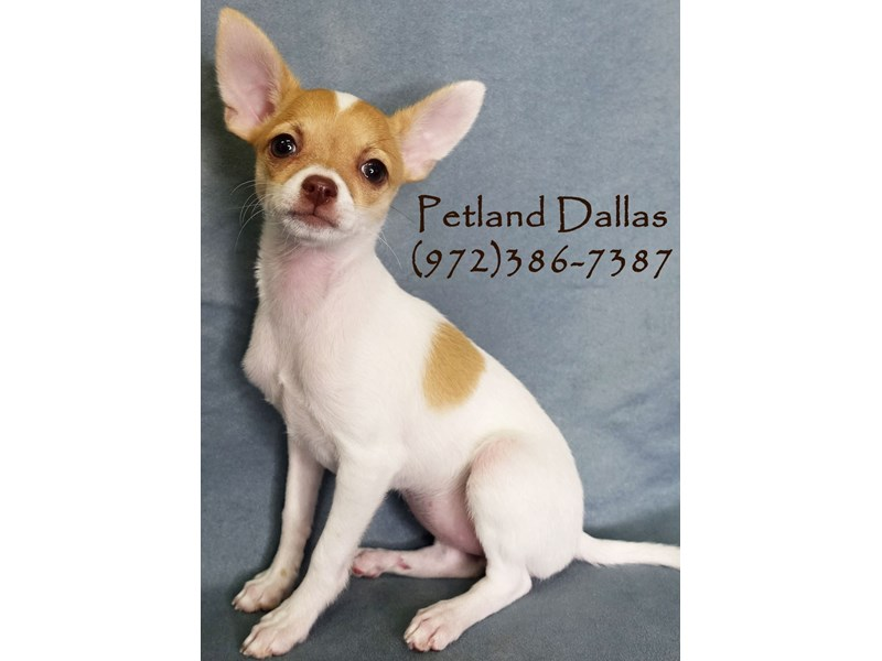 Chihuahua-Female-White / Fawn-2934923-Petland Dallas, TX