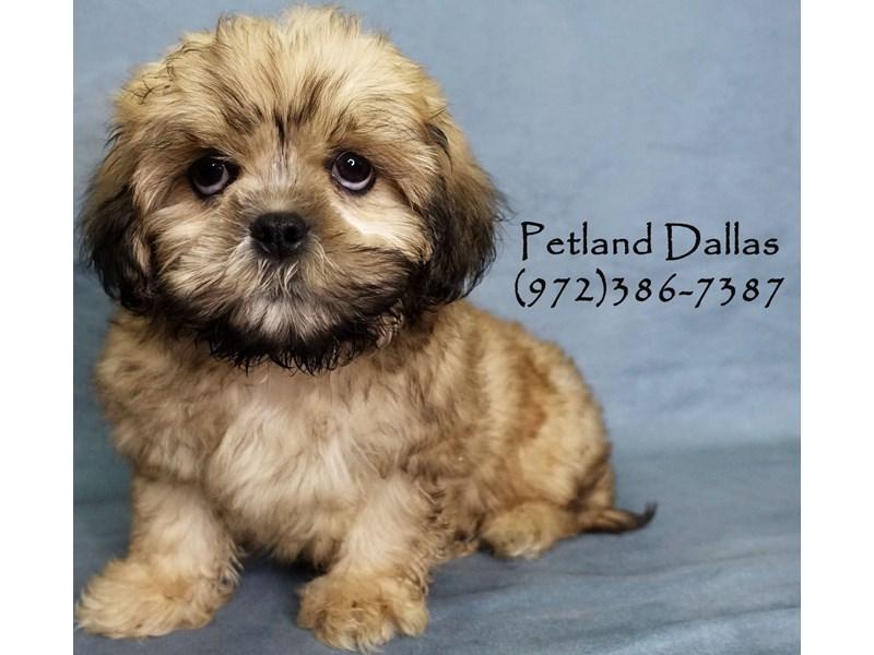 Malshi-Male-Gold-2934775-Petland Dallas, TX