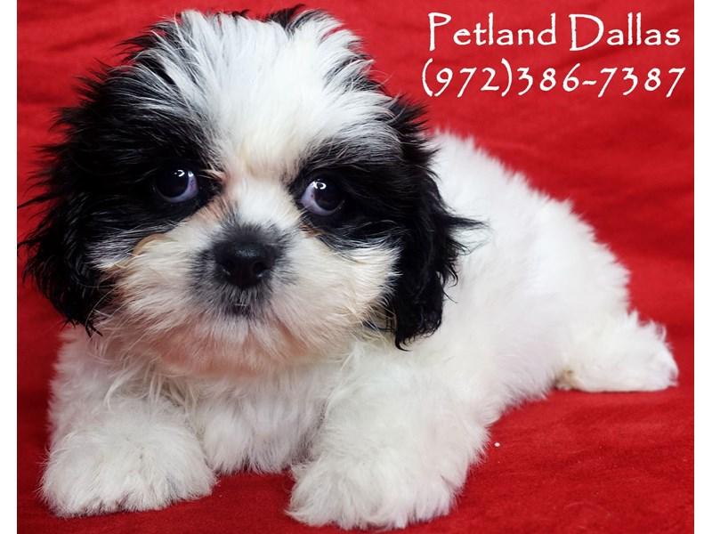 Shih Tzu-Female-Black and White Parti-2934538-Petland Dallas, TX