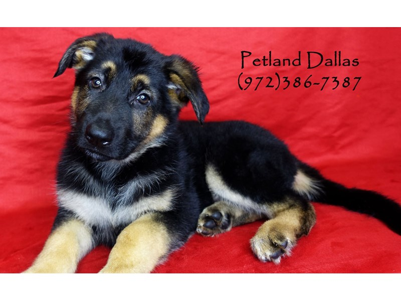German Shepherd-Male-Black and Tan-2934483-Petland Dallas, TX