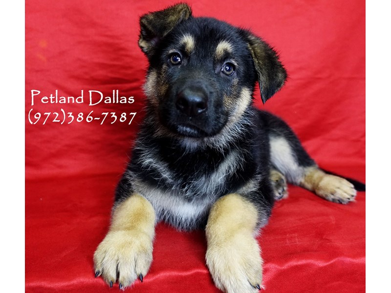 German Shepherd-Male-Black and Tan-2934481-Petland Dallas, TX