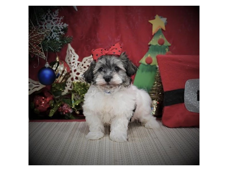 Havanese-Female-Gold Sable-2935365-Petland Dallas, TX