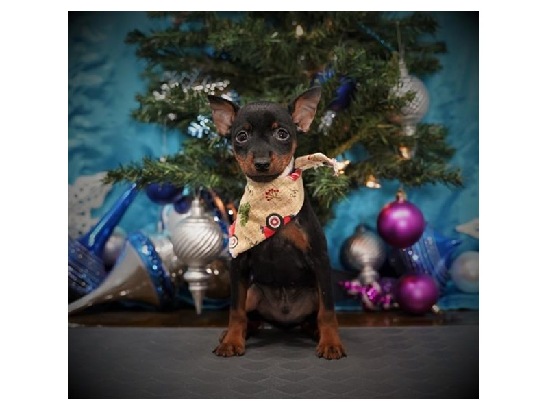 Miniature Pinscher-Male-Black / Rust-2935372-Petland Dallas, TX