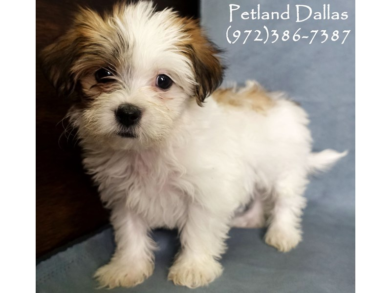 Teddy Bear-Female-Brown - Wht-2932469-Petland Dallas, TX