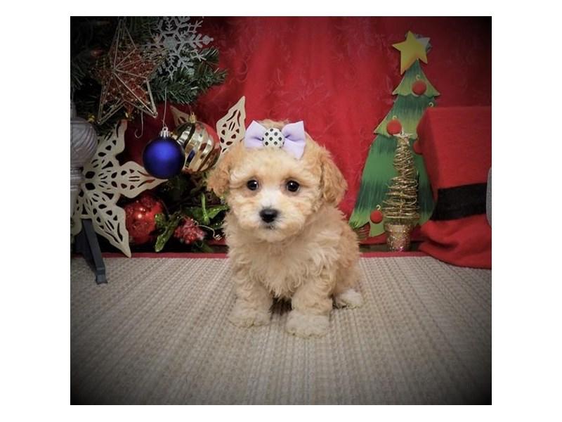 Maltipoo-DOG-Female-Apricot-2940238-Petland Dallas, TX