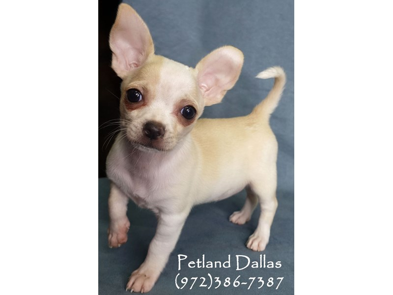Chihuahua-Female-Cream & White-2948781-Petland Dallas, TX
