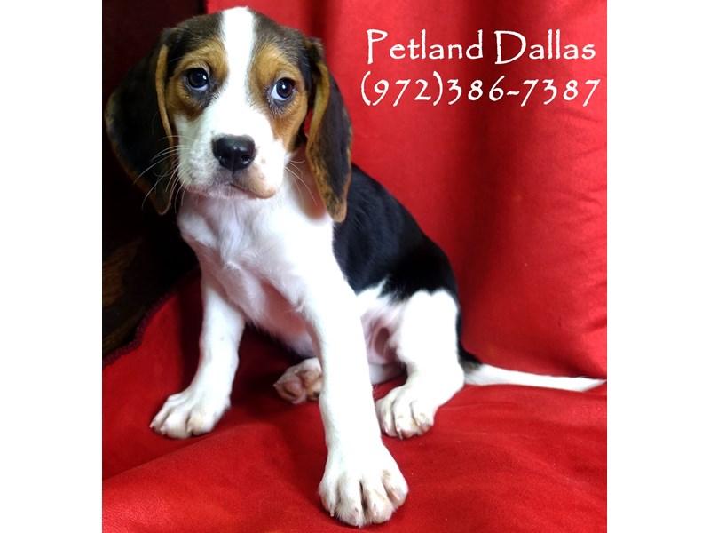 Beagle-Female-Tri-2948701-Petland Dallas, TX