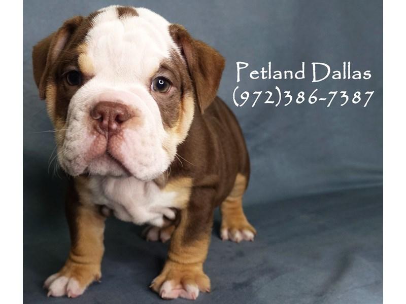 English Bulldog-Male-Chocolate Tan-2926833-Petland Dallas, TX