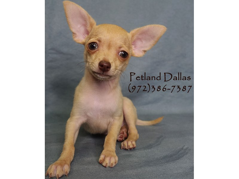 Chihuahua-Male-Black Sabled Fawn-2935016-Petland Dallas, TX