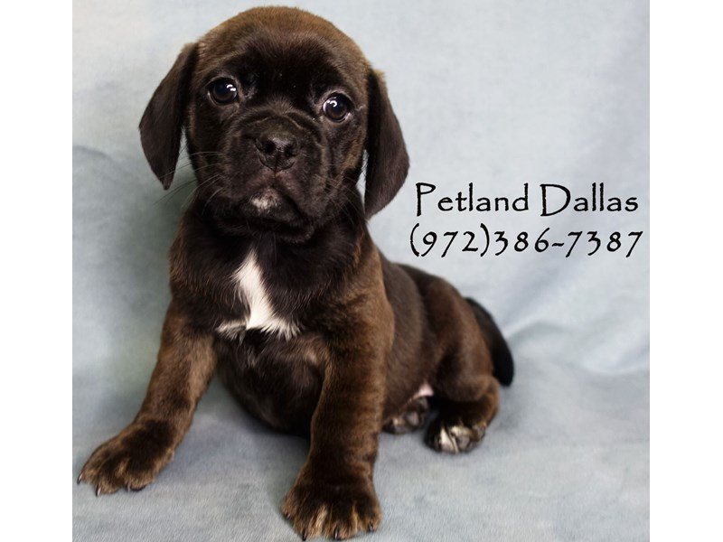Puggle-Female-Black-2934623-Petland Dallas, TX