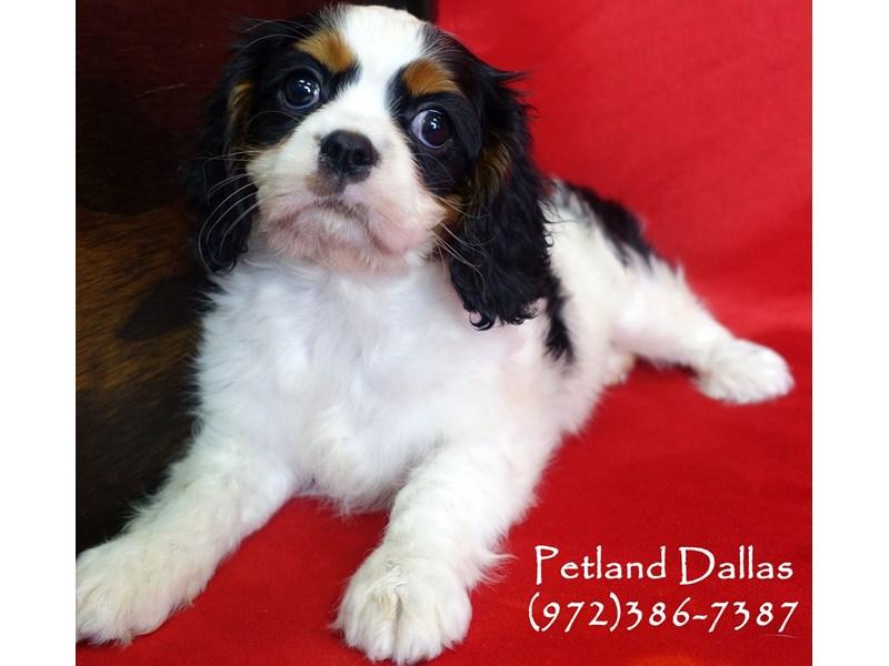Cavalier King Charles Spaniel-Female-Black and White Tri-2934544-Petland Dallas, TX