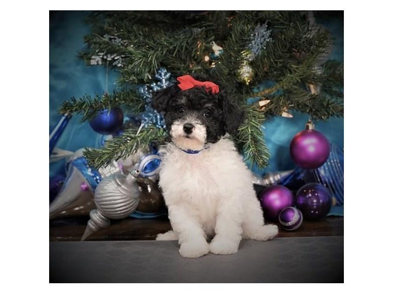 Miniature Poodle-Female-Black / Tan-2940253-Petland Dallas, TX