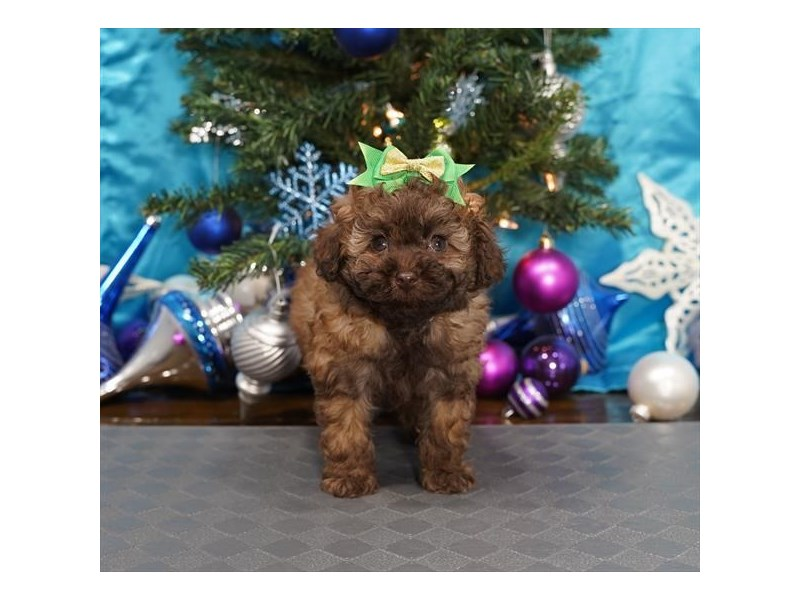 Miniature Poodle-Female-Chocolate Sable-2940256-Petland Dallas, TX