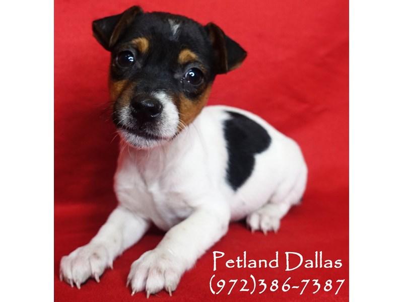 Jack Russell Terrier-Male-Tri-2941574-Petland Dallas, TX
