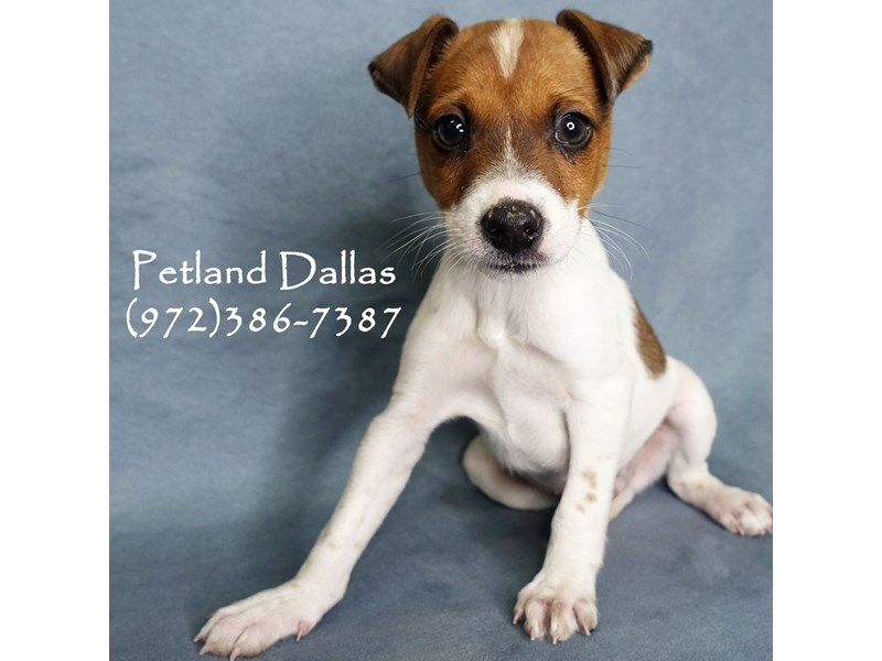 Jack Russell Terrier-Male-Red & White-2941591-Petland Dallas, TX