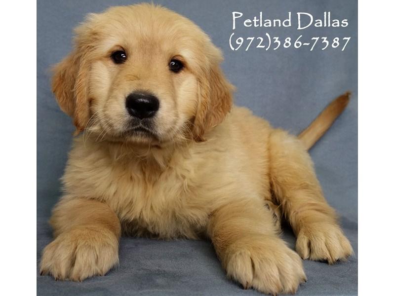 Golden Retriever-Male-Golden-2942038-Petland Dallas, TX