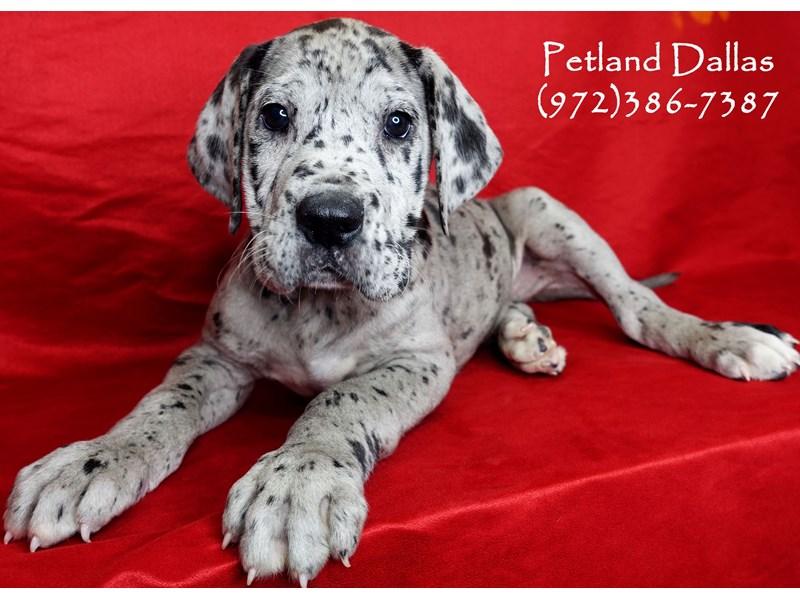 Great Dane-Male-Blue Merle-2942153-Petland Dallas, TX
