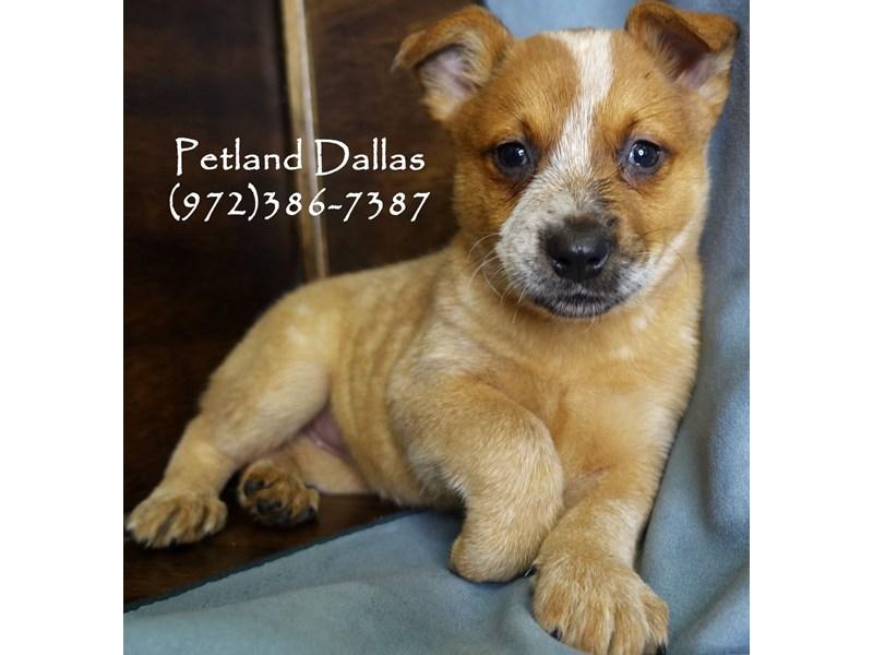 Australian Cattle Dog-Female-Red Mottled-2942196-Petland Dallas, TX