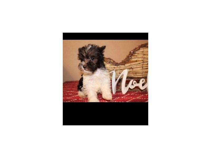 Miniature Schnauzer-DOG-Male-Brown and White-2944484-Petland Dallas, TX