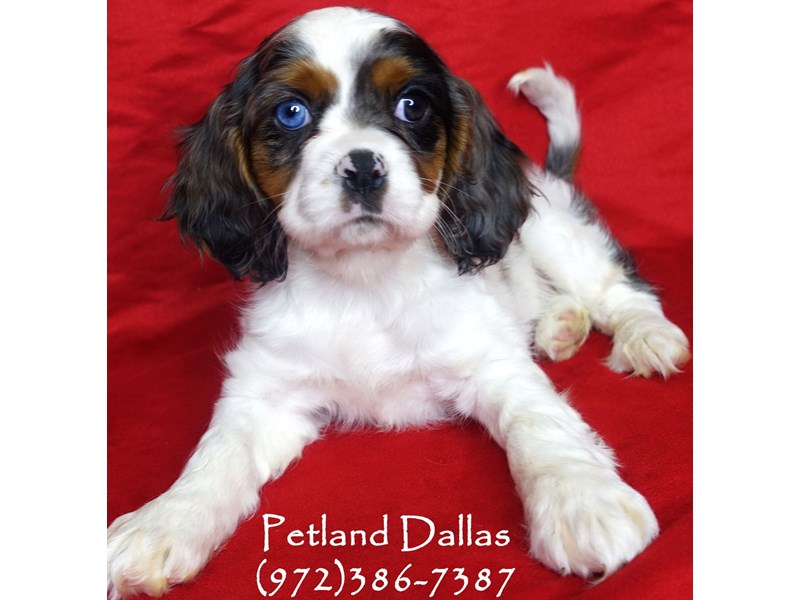 Cockalier-Female-Blue Merle-2948831-Petland Dallas, TX