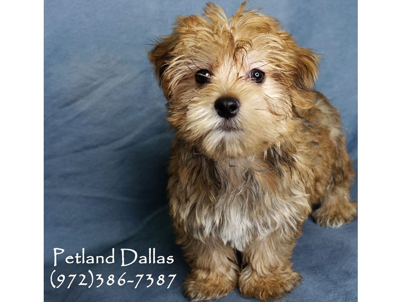 Morkie-Male-Sable-2948727-Petland Dallas, TX