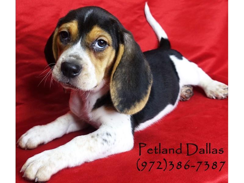 Beagle-Male-Tri-2948700-Petland Dallas, TX
