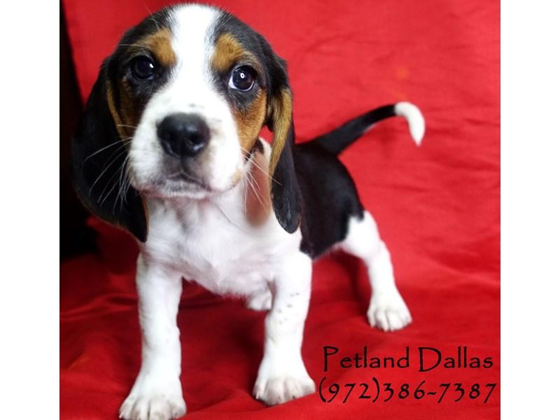 Beagle-Male-Tri-2948699-Petland Dallas, TX