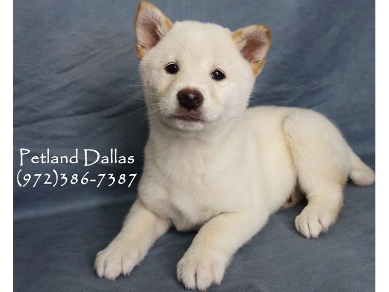 Shiba Inu-Male-Cream-2948520-Petland Dallas, TX