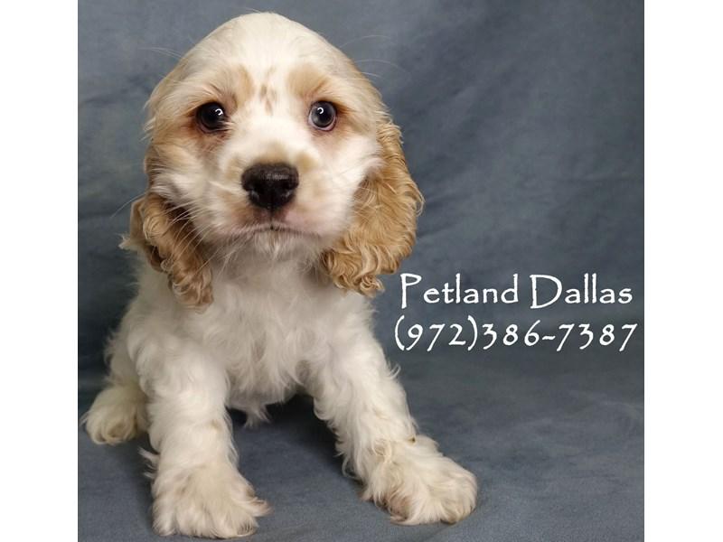 Cocker Spaniel-Female-White / Buff-2948347-Petland Dallas, TX