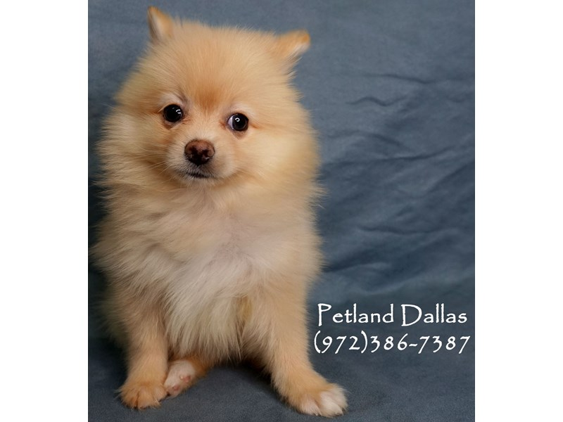 Pomeranian-Female-Cream-2952123-Petland Dallas, TX